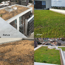 Sedum Supply's green roof maintenance services