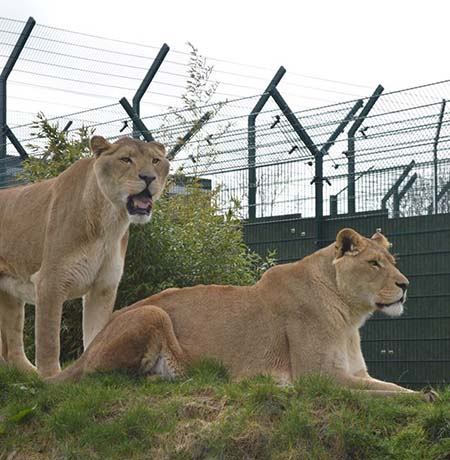 Rescue Lions given safe haven thanks to CLD Fencing Systems